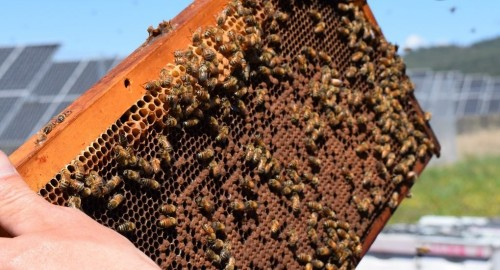 The largest solar farm apiary in the US opens this week